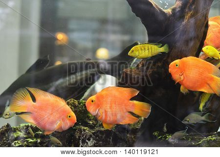 few beautiful goldfish floating in freshwater aquarium