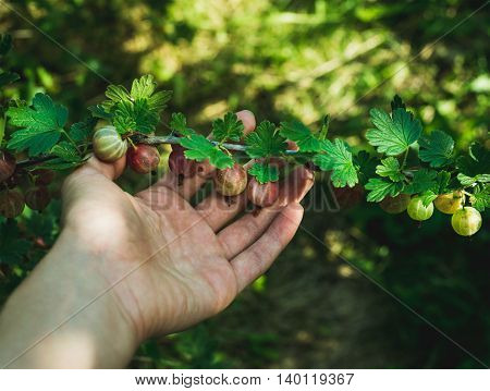Man's hand picking ripe Gooseberies in garden on sunny summer day, selective focus, horizontal composition