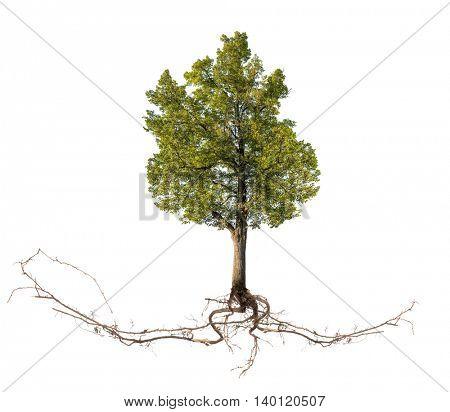 large linden tree isolated on white background