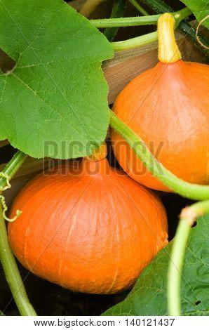 Summertime - ripe orange pumpkins in the garden