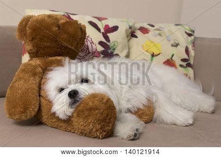 White maltese dog resting on a cute teddy-bear.