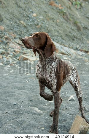 kurtshaar pedigree dog on a background of pebbles and rocky terrain
