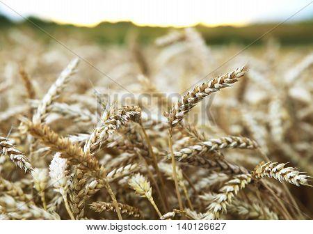 golden ripe ears of wheat ripened for harvest