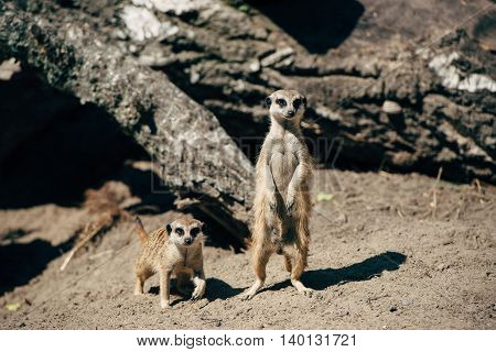 Two meerkat sit on sand and looking ahead