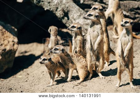 large family meerkats look in the direction of