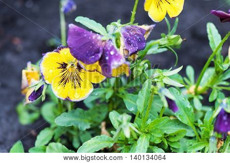 Close up photo of yellow and purple viola tricolor pansy flowers in the garden.
