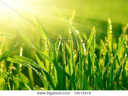 Green grass and morning dew