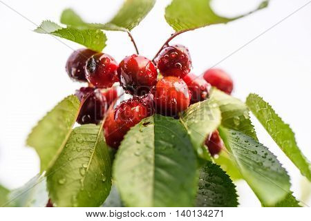 Close up photo of red ripe cherries with green leaves on a tree with drops of water in the rain.