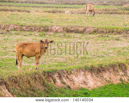Brown cow in a field looking at the camera - mammal animal