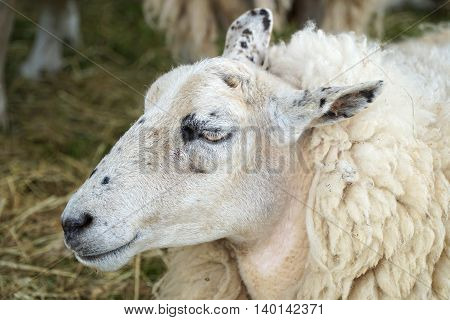Close up of the face and head of an unshorn white sheep in a pen.