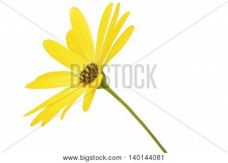closeup of the yellow daisy Osteospermum isolated on white