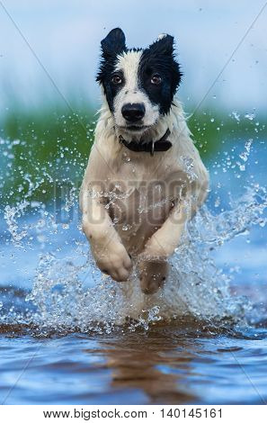 Close up running puppy of mongrel over water. Vertical outdoors image. Front view.