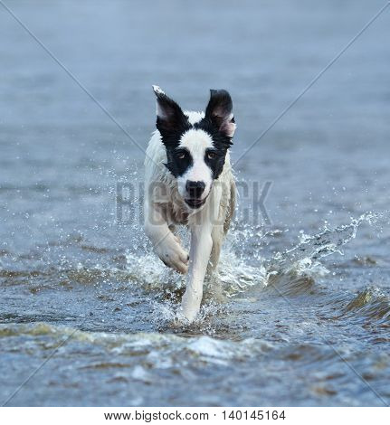 Puppy of mongrel running on water. Vertical composition. Front view.