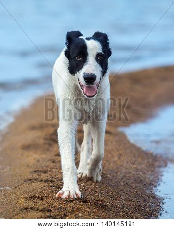Puppy of watchdog walks along sand spit on the seashore. Summertime vertical outdoors image. Close up.