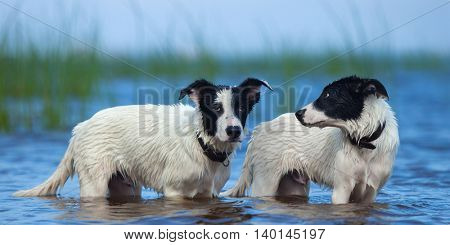 Close up two puppies of mongrel standing in water on the sea. Summertime horizontal outdoors image.