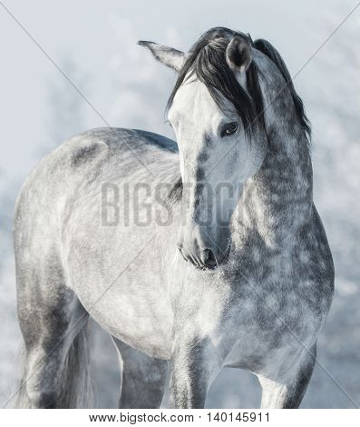 Spanish thoroughbred grey horse in winter forest. Monochromatic wintertime vertical outdoors image.