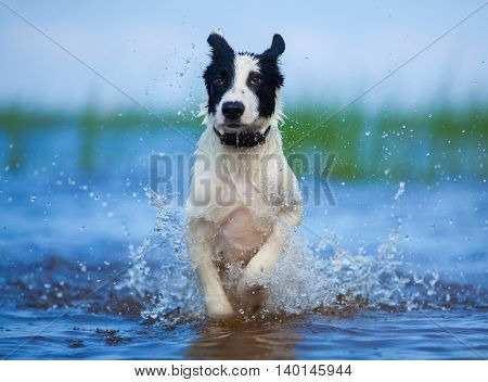 Active athletic puppy running at the sea. Horizontal outdoors image. Front view.