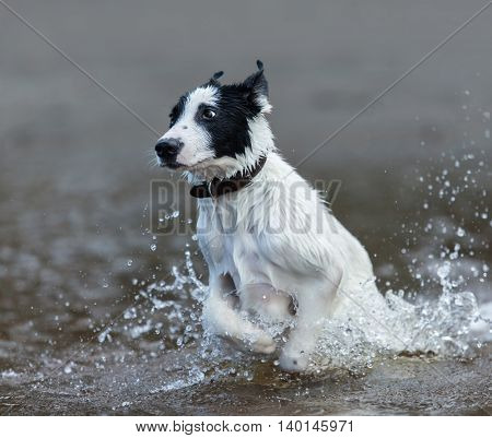 Puppy of mongrel  jumps out of water. Square composition.