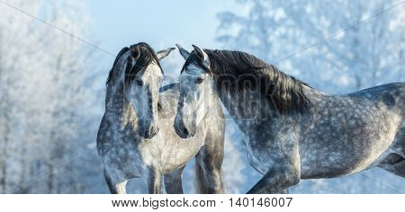 Portrait of two spanish grey stallions in winter forest on a blue sky background. Multicolored wintertime horizontal outdoors image.