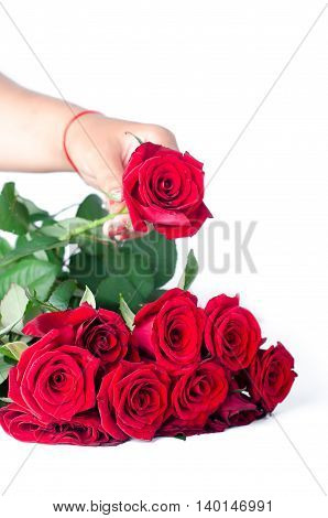 the red rose on the female hand for everyone , isolated on white