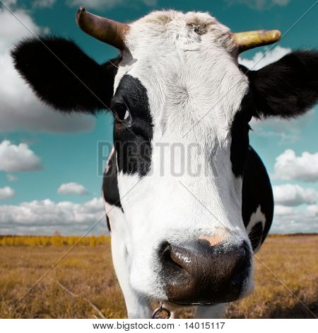 Cow on meadow with grass under blue sky with clouds