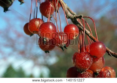 Crab apples cling to a crab apple tree in Joliet, Illinois during November