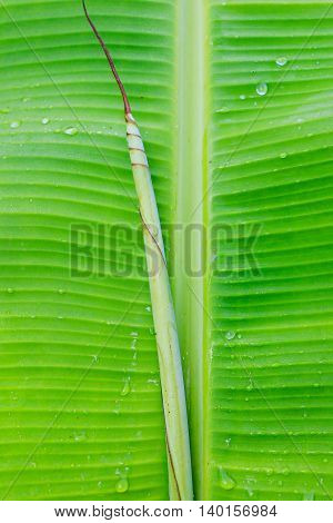 Close-up water drop on green banana leaf