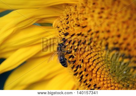 The bee gathers honey at sunflower photo