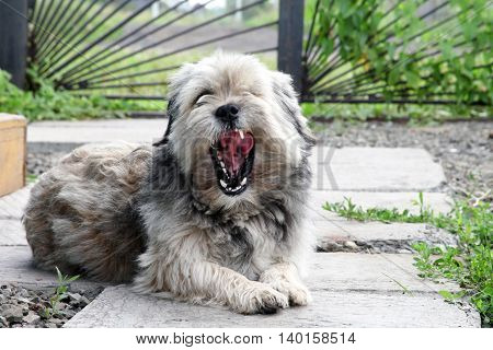 Mongrel dog lying and yawning in the courtyard. Pets
