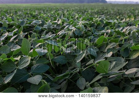 Soybean field ripening at spring season, agricultural