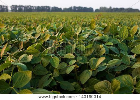 The sun lit fresh green soy pods and leaves