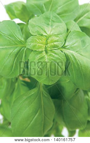 Green herbs Basil for kitchen and food on background