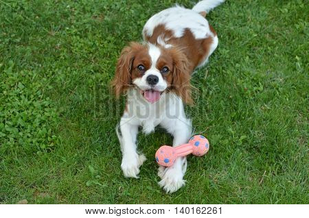 Dog On Green Grass With Its Toy