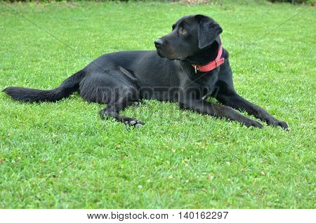 Black Dog With Red Necklace
