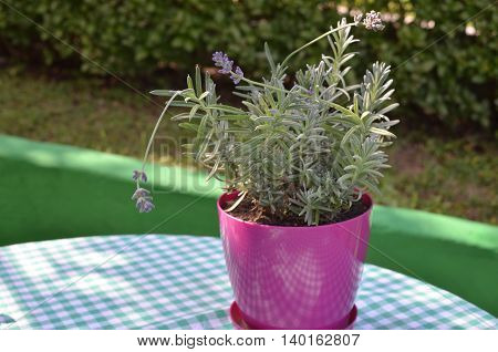 Violet pot with growing lavender in a garden in summertime