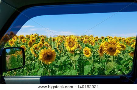 view on sunflower field through car window, beautiful summer landscape, travel concept