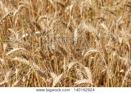 wheat ears closeup, beautiful summer landscape