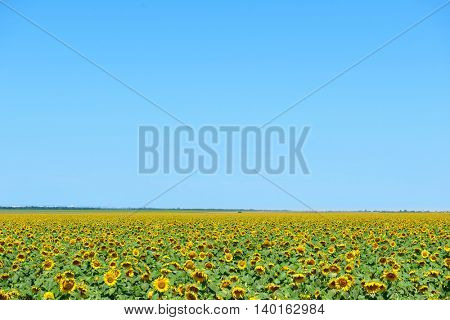sunflower field and clear sky, beautiful summer landscape