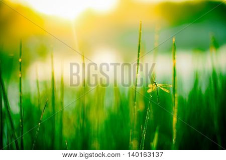 blurred background of grass. Summer morning. dragonfly sitting in the dewy grass. defocus, blur