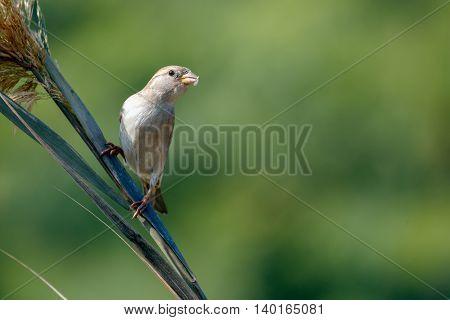 Common sparrow in a farm in Bahrain