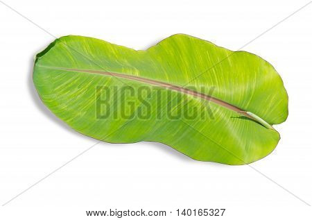 Young mild banana leaf isolated on white background File contains a clipping path.