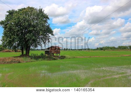 Rice field with small house and tree