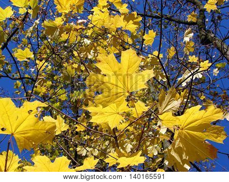 Yellow leaves of a maple. Autumn maple.