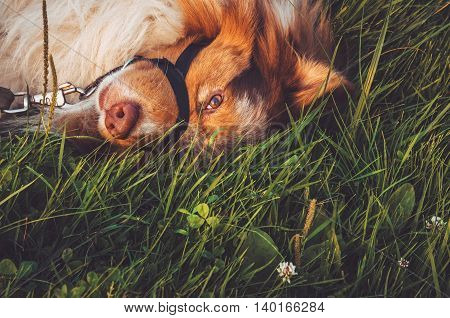 Portrait of redheaded mongrel dog relaxing on green grass after long play have a fun outdoors. Walking in summer park cute animal.