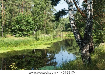 summer river and birch Russia Nerskaya River