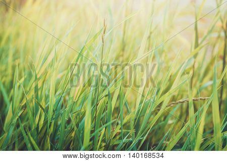 Fresh healthy green bio grass background with abstract blurred foliage bright summer sunlight. Copyspace for your text or advertisment. Rustic style nature. Text copy space.