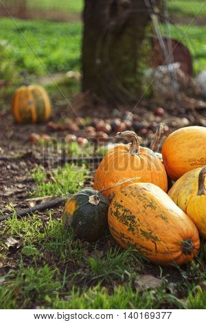 Orange Pumpkins. Autumn vegetables concept. Halloween Pumpkin vegetables from the garden in the countryside with vertical composition. Selective focus.