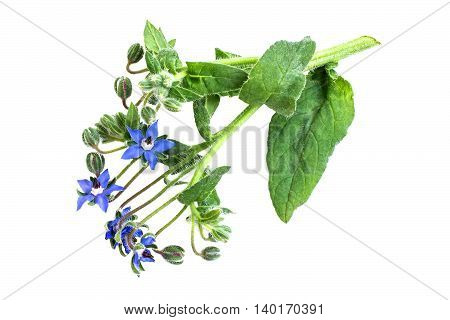 Medicinal plant borage (Borago officinalis) also known as a starflower isolated on a white background. Used in herbal medicine healthy eating oil from the seeds is done for cosmetic purposes