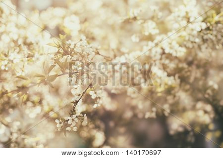 Blossoming of cherry flowers in spring time, natural seasonal sunny vintage hipster background