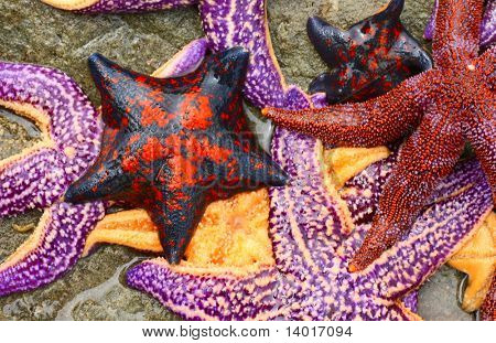 Sea stars of different sizes and colors on the wet stone